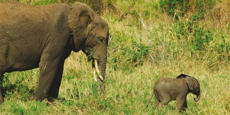 Elephant's in the wild, Tanzania